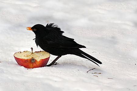 black bird eating red apple