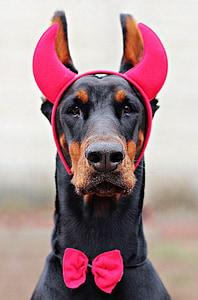 adult black and tan Doberman pinscher wearing red devil headband