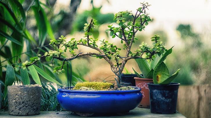 Royalty Free Photo Green Bonsai On Blue Ceramic Plate Pickpik
