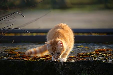 orange short-fur tabby cat