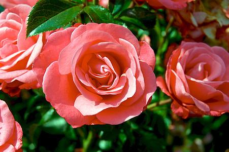 pink roses closeup photo