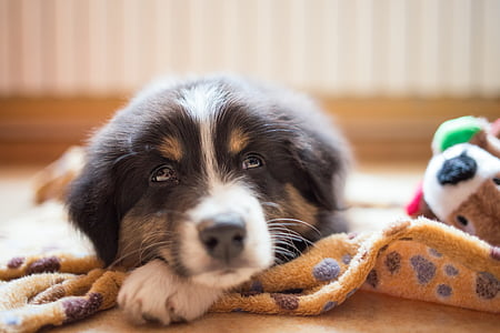 black tri-color puppy laying on brown mat