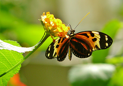 selective focus photography of tiger longwing butterfly perched on yellow petaled flower