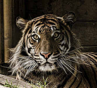 closeup photo of brown and black tiger