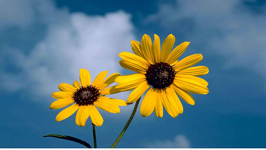 two yellow sunflowers under white clouds at daytime