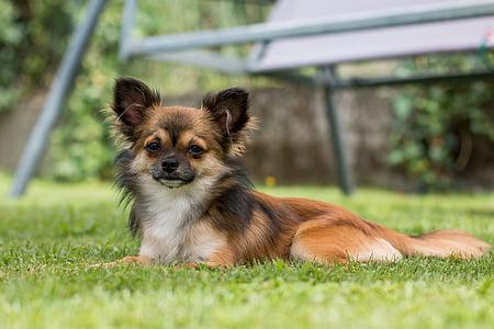 brown and white Chihuahua on grass field