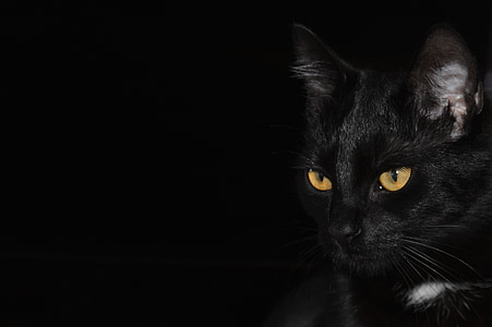 close-up photography of bombay cat