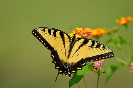 tiger swallowtail butterfly perch on flower