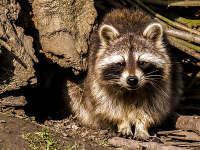 brown and black raccoon