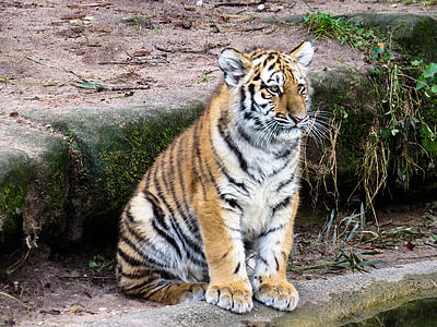 tiger sitting during daytime