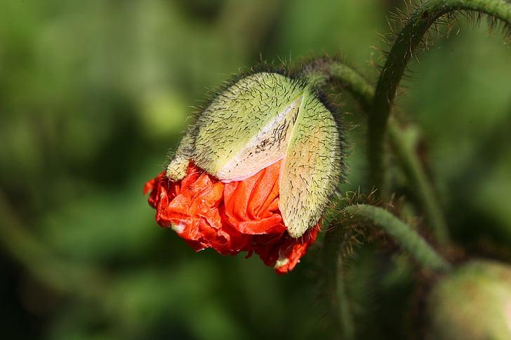 orange poppy bud selective-focus photography