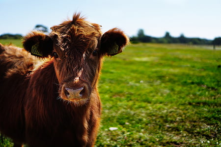 selective focus photography of brown cattle