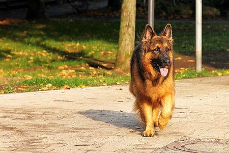 walking adult German shepherd