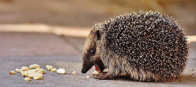 choco hedge hog