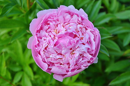 closeup photography of pink peony flower