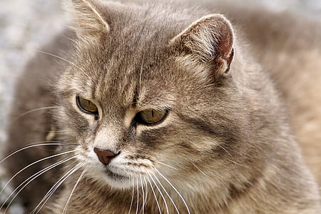 short-fur gray cat in closeup photography