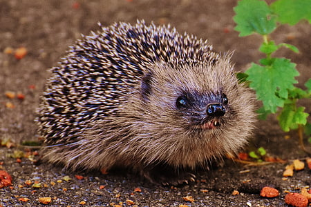 shallow focus photography of brown and black hedgehog