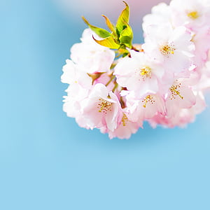 selective focus photography pink cherry blossom flower