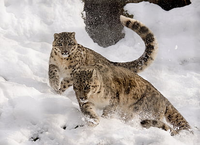 two leopards running in snow field