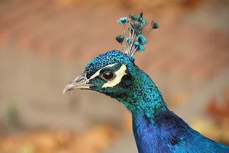 peacock head in macro shot photography