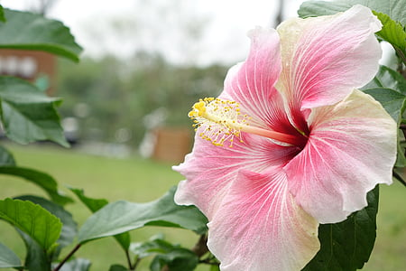 selective focus photography of pink hibiscus flower