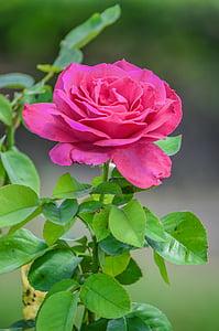 pink flowering rose plant
