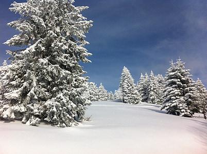 icy pine tree