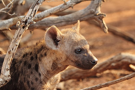 hyena under the shade of branches