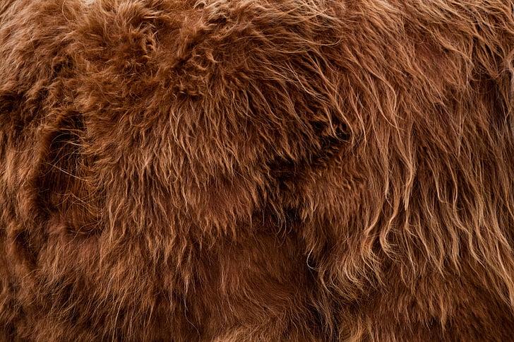 highlander, animal, fur, backdrop, background, brown