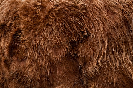 highlander, animal, fur, backdrop, background, brown