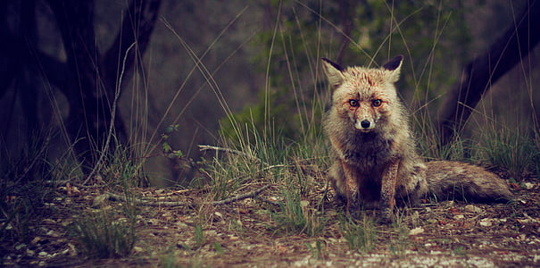 gray fox surrounded by grasses