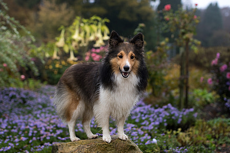 adult black and white Shetland sheepdog