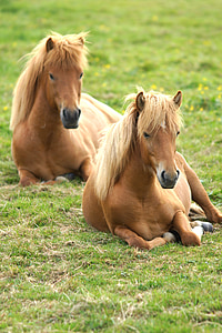 two brown horses resting on grass field