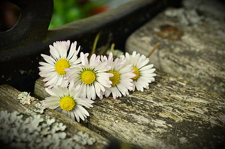 five white petaled flowers on gray wooden surface