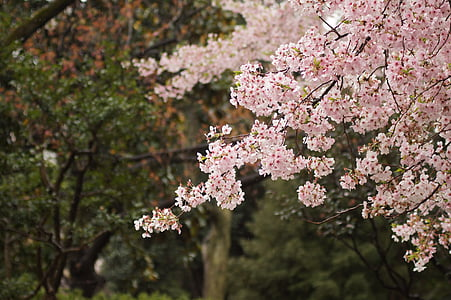 selective focus of cherry blossoms