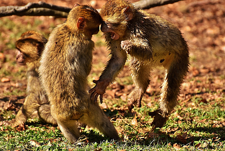 two monkey playing on field