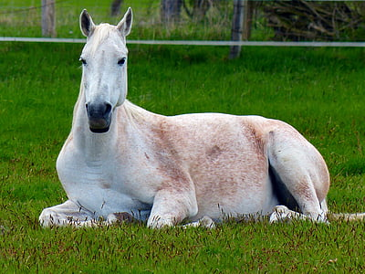 white horse lying on green grasses