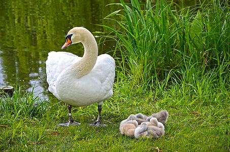 white swan beside white duck chicks near river