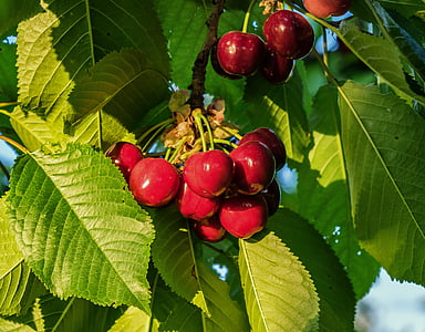 red cherry fruit lot
