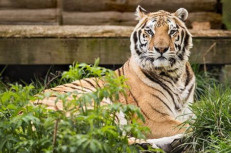 Bengal tiger on grass field