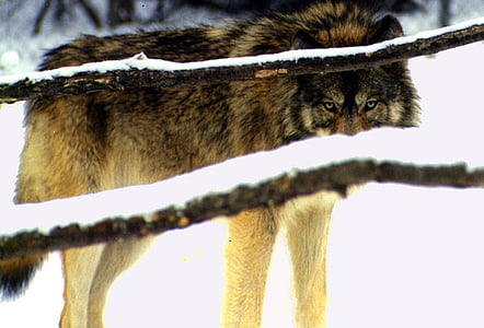 brown and black wolf on snow