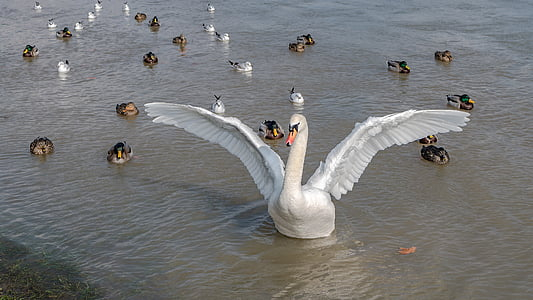 white swan with ducklings on water