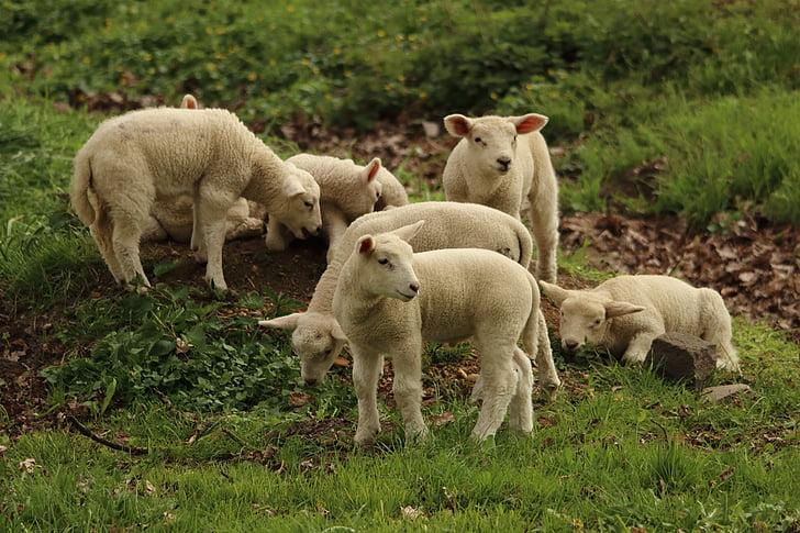 sheeps on grass field