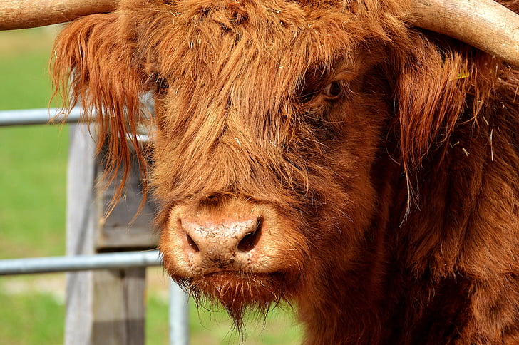 shallow focus photography of highland cow