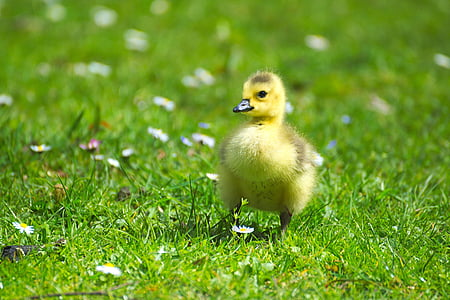white duckling on green grass