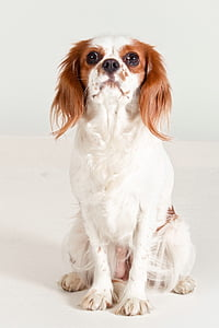 adult tan and white Cavalier King Charles spaniel