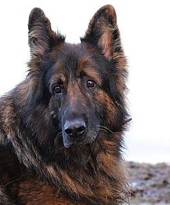 photo of King Shepherd