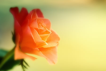 closeup photo of orange rose flower