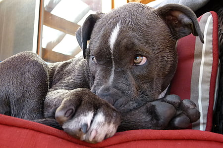gray and white American pit bull terrier puppy