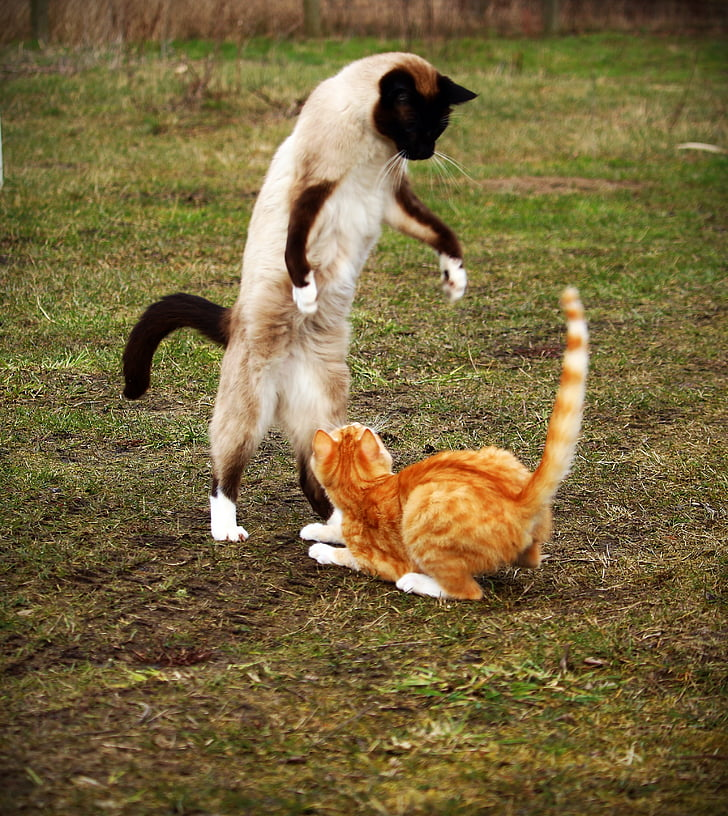 siamese and orange tabby cat fighting at daytime